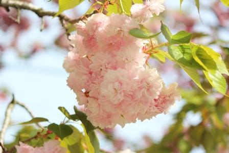 今年の花「花笠」