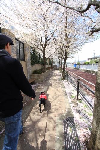 お花見散歩7