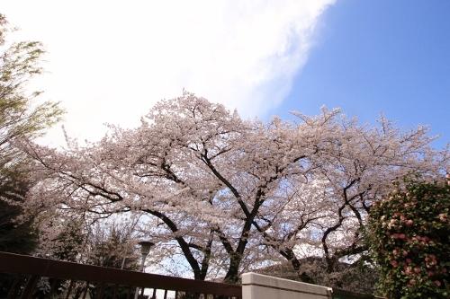 お花見散歩16