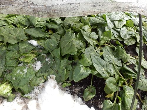 3雪の畑8