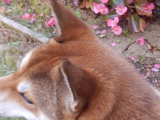さくらの耳