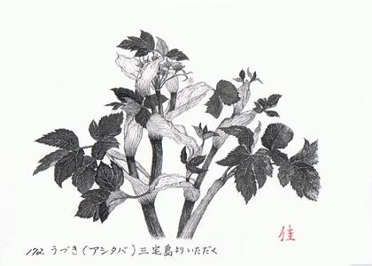ashitaba_.jpg