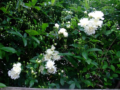 モッコウ薔薇