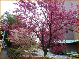 20140322 寒緋桜 春がそこに