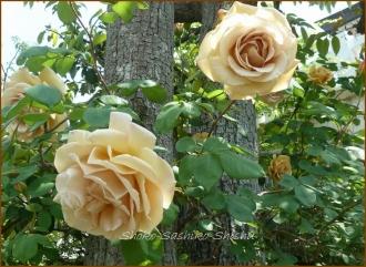 20140513 セピア調の薔薇 5月の花