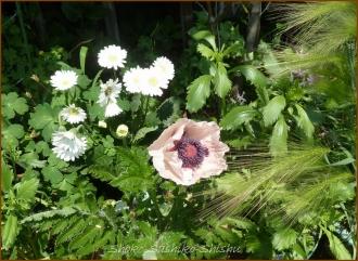20140513 ひなげし 5月の花