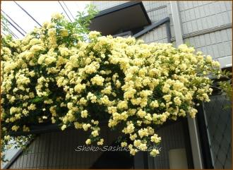 20140513 モッコウバラ薔薇 5月の花