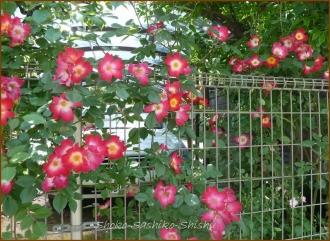 20140513 一重い赤い薔薇 5月の花