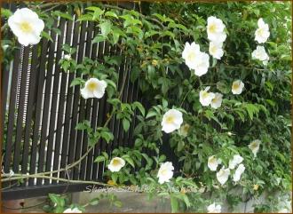 20140513 一重白い薔薇 5月の花