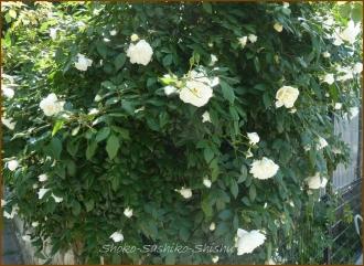 20140513 白い薔薇 5月の花