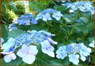 20140629 ガク 1  紫陽花