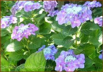 20140629 ガク 2  紫陽花