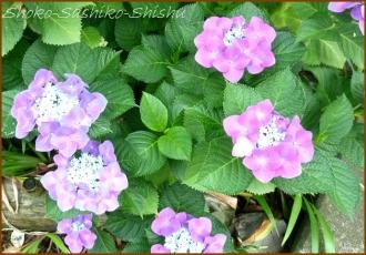 20140629 ガク 3  紫陽花