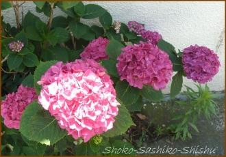 20140629 紫 1  紫陽花