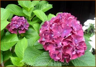20140629 紫 3  紫陽花