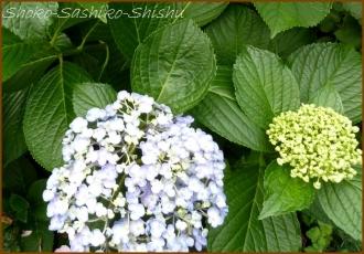 20140629 縮れ  紫陽花