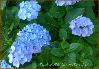 20140629 青 1  紫陽花