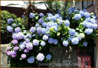 20140629 青 2  紫陽花