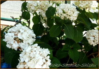 20140629 白 2  紫陽花