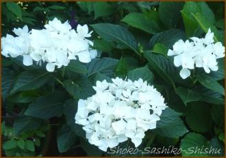 20140629 白 3  紫陽花