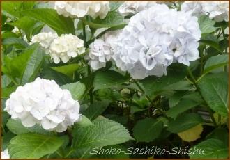 20140629 白 4  紫陽花