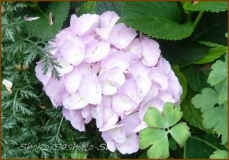 20140629 薄紫 1  紫陽花
