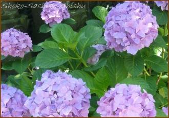 20140629 薄紫 2  紫陽花