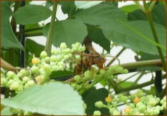 20140816 蜂 1 小さな働き者