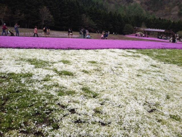 マサイ芝桜