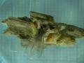 カンモンシロアリ(H24)