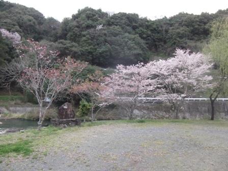 花見桜2014