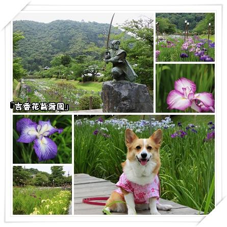吉香花菖蒲園