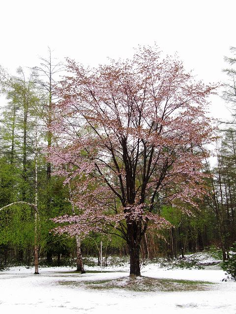 s-インフォの桜、、、