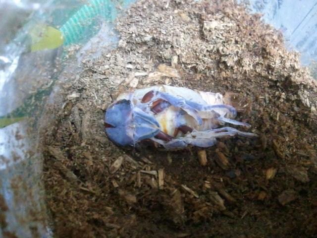 Allotopus moellenkampi moseri male emergence 003