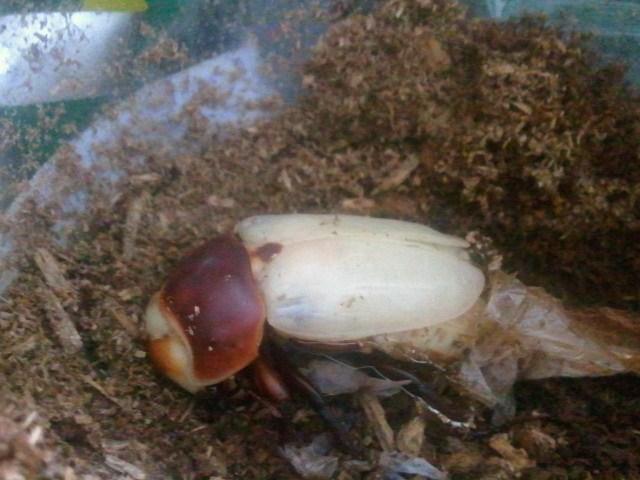 Allotopus moellenkampi moseri male emergence 006