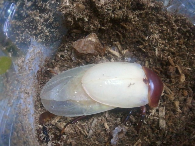 Allotopus moellenkampi moseri male emergence 008