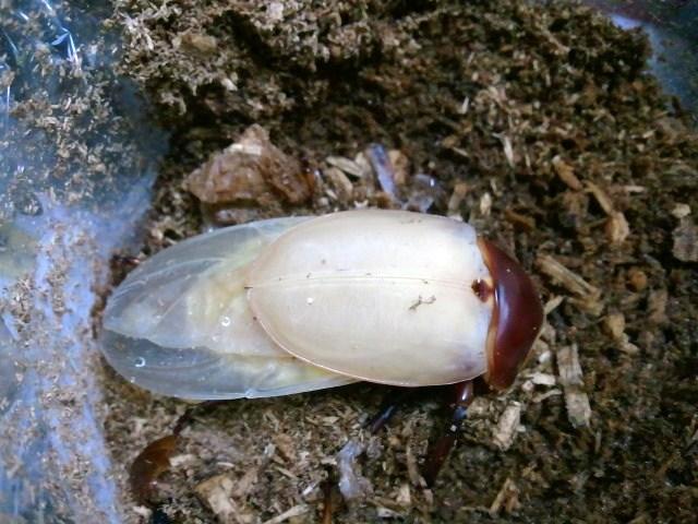 Allotopus moellenkampi moseri male emergence 009