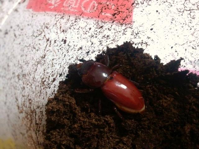 Dorcus titanus karasuyamai female 001