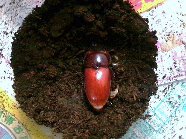 Dorcus titanus karasuyamai female 003