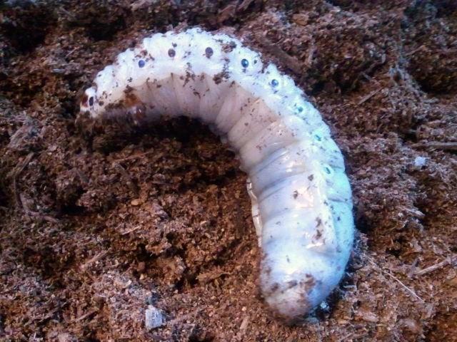 Dynastes hercules lichyi larva 003