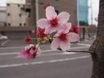 sakura2014kyoto
