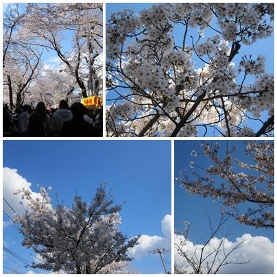sakura2014.jpg