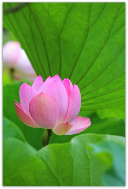 青森県 平川市 猿賀神社 蓮の花 アオモンイトトンボ コシアキトンボ