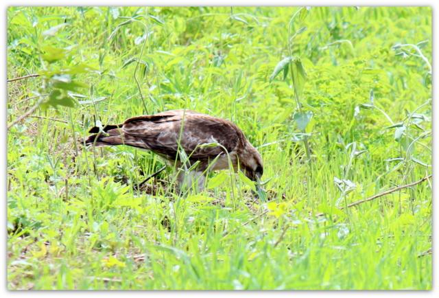 ノスリ 鵟 鳥 トリ とり 猛禽類 野鳥 写真