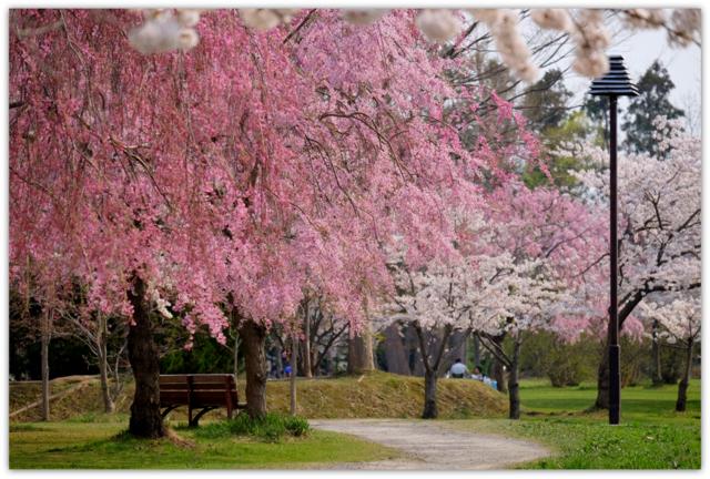 青森県 五所川原市 菊ケ丘運動公園 桜 写真
