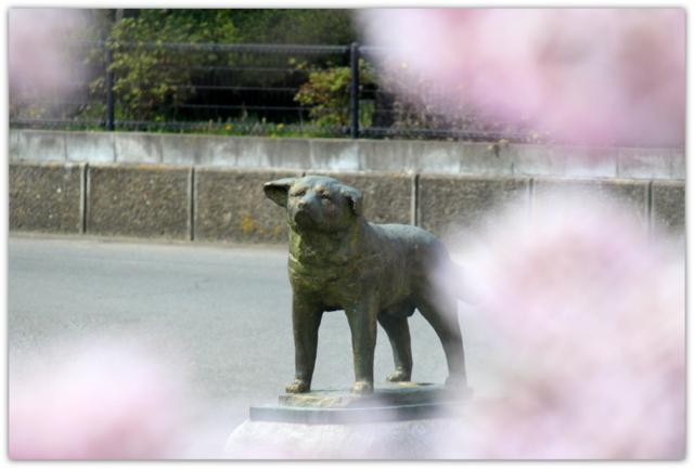 秋田県 大館桜まつり 秋田犬