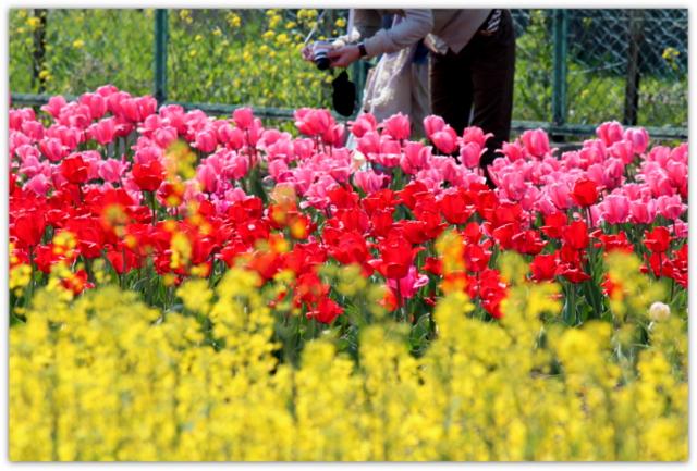 青森県 藤崎町 弘前大学藤崎農場 チューリップ 花 写真
