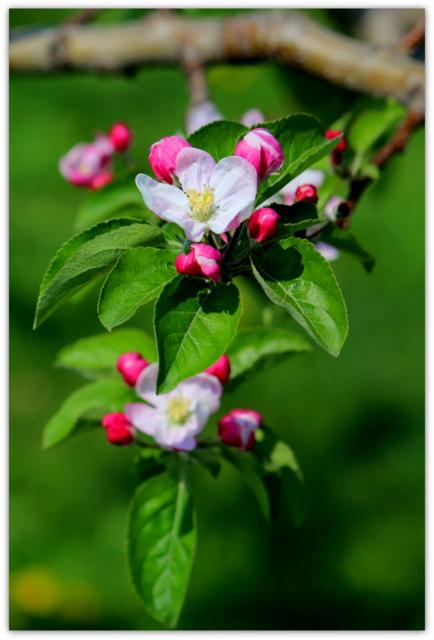 青森県 弘前市 ひろさき ヒロサキ 弘前市りんご公園 りんご 花 写真
