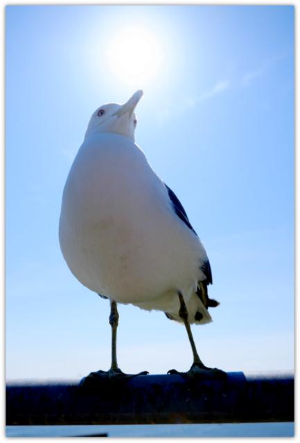 青森県 八戸市 蕪島 天然記念物 三陸復興国定公園 うみねこ ウミネコ 繁殖地 観光