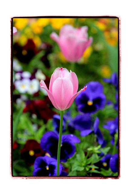 花 チューリップ 写真